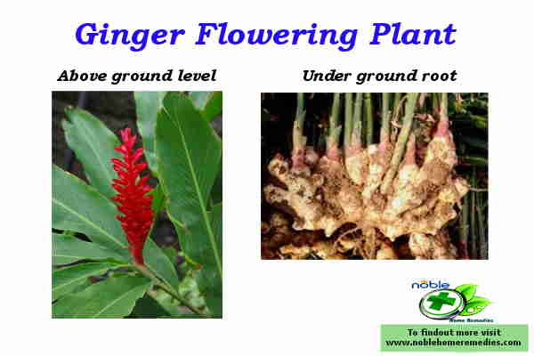 Ginger Flowering Plant and health benefits