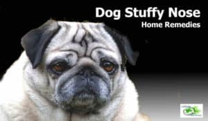 Home remedies for dog stuffy nose: Symptoms, Causes, Allergies, breathing troubles