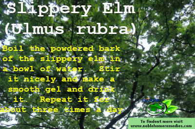 Ulmus rubra - Slippery Elm for sore throat