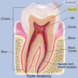 Tooth Anatomy with Enamel and Dentin