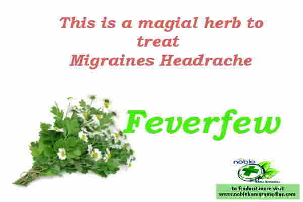 Feverfew herb is known for centuries to treat migraine headache