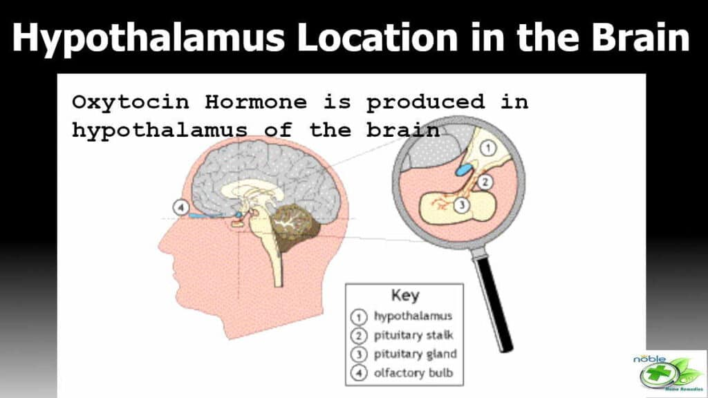 hypothalamus part is located at the base of the brain. This part only produces the so called love hormone